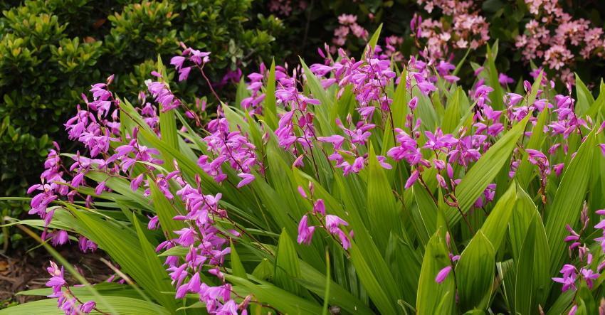 выращивание в открытом грунте орхидеи блетилла