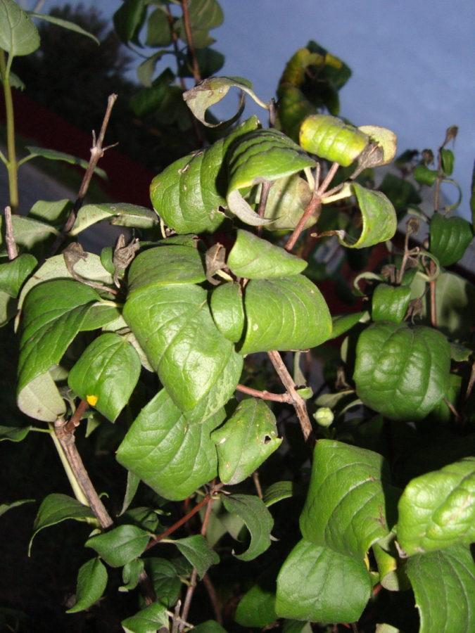 причины курчавости листьев