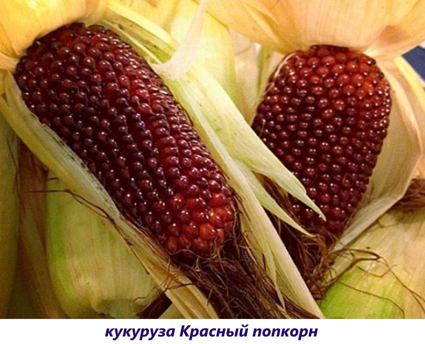 кукуруза красный попкорн