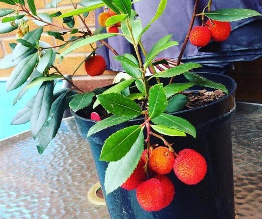 выращивание земляничного дерева