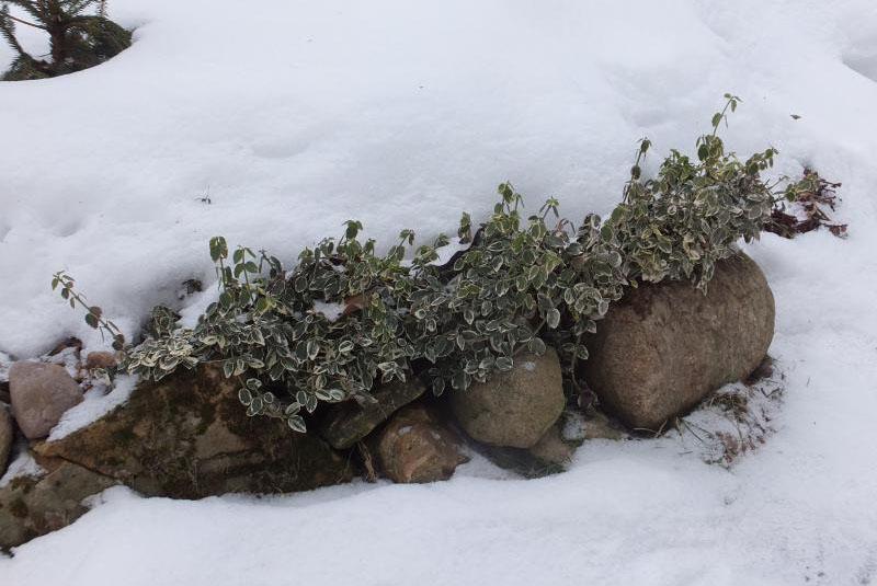 бересклет под снегом