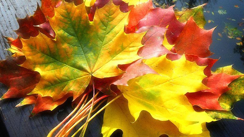 сбор кленовых листьев