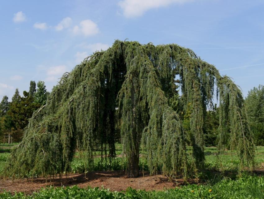 дерево с плакучей кроной