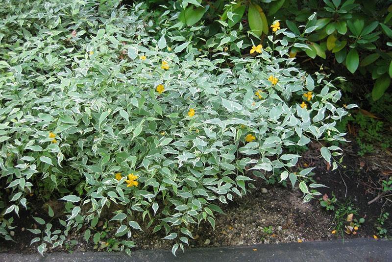 растение семейства розоцветных