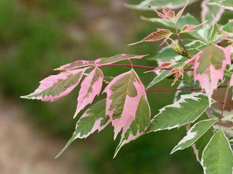 цвет молодой листвы
