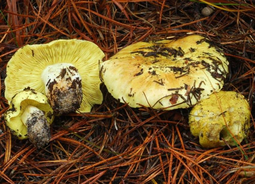 грибы зеленушки