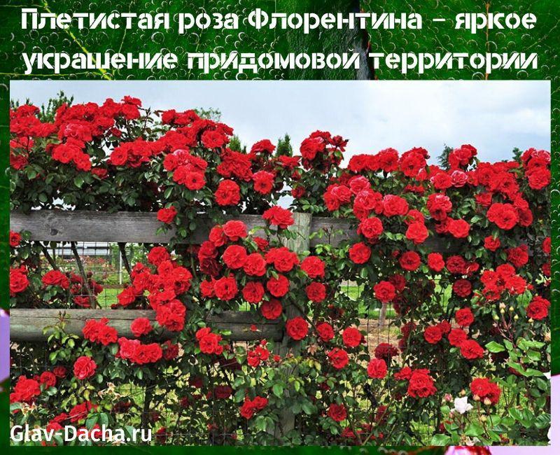 плетистая роза флорентина