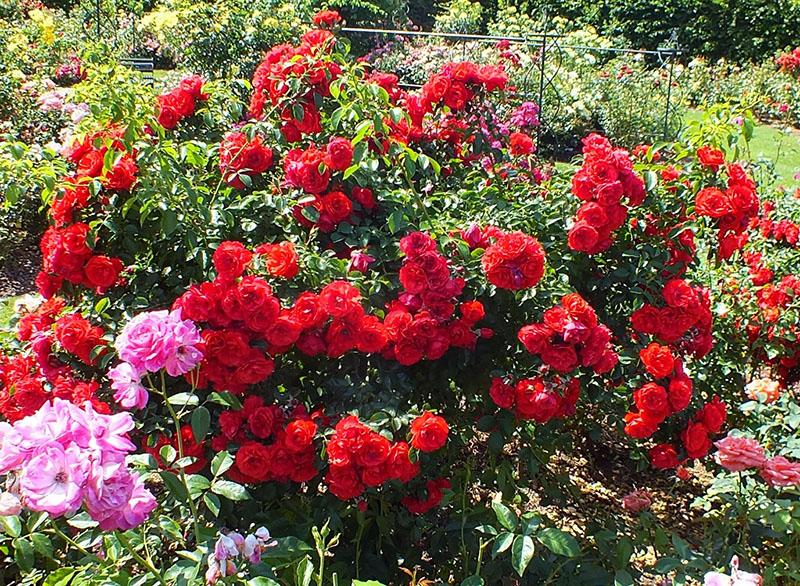 плетистая роза флорентина в саду