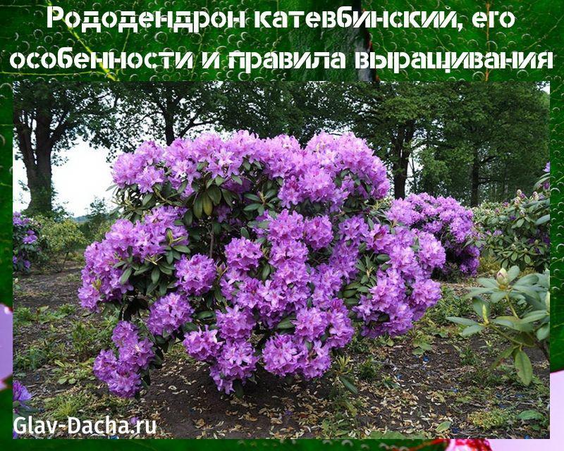 рододендрон катевбинский
