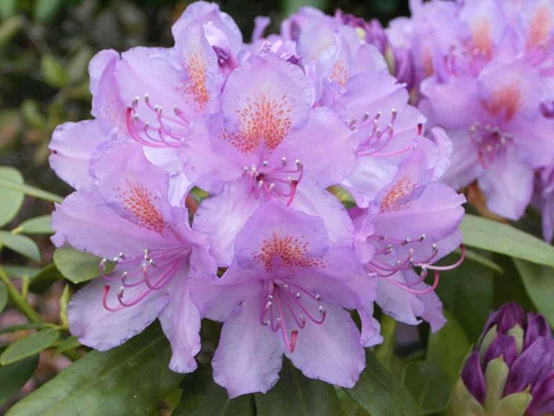пышное цветение катевбинского рододендрона