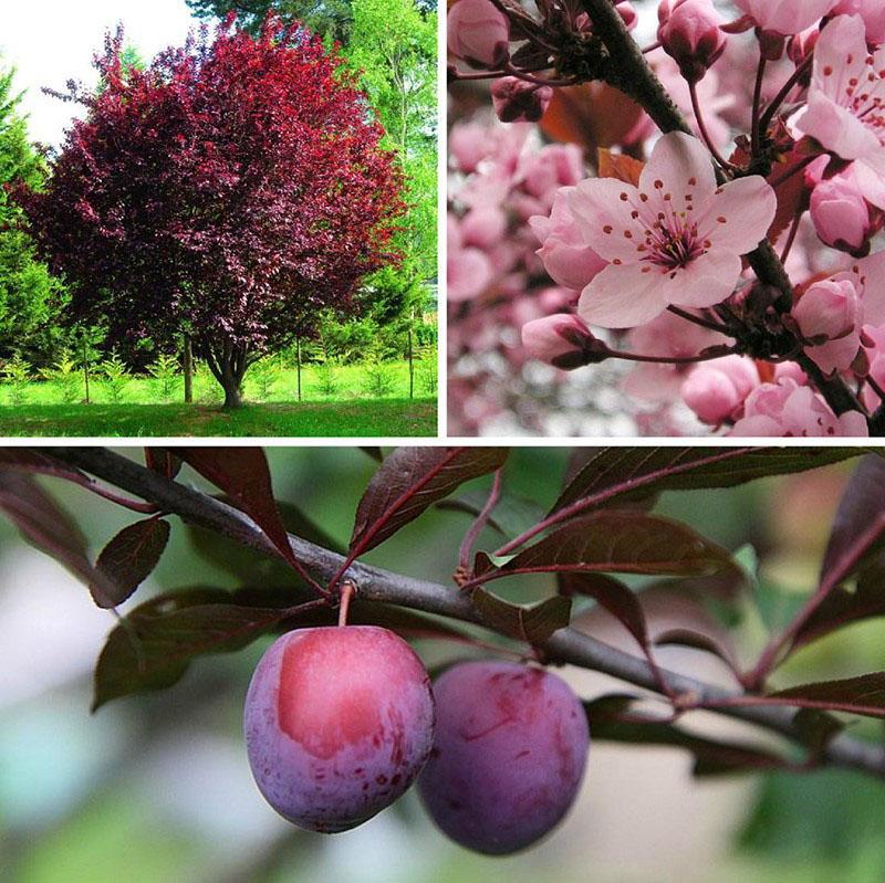 цветение и плодоношение сливы растопыренной