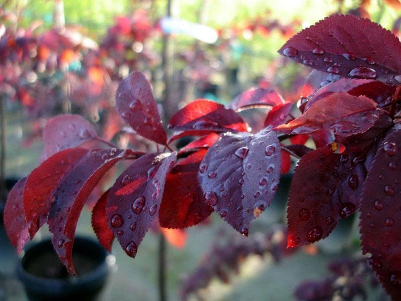 яркий цвет листвы сливы декоративной