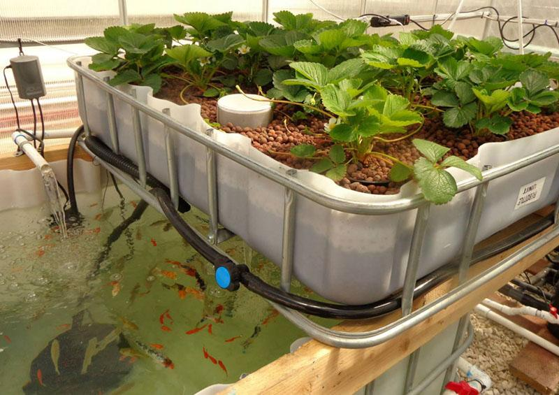 Growing strawberries and fish
