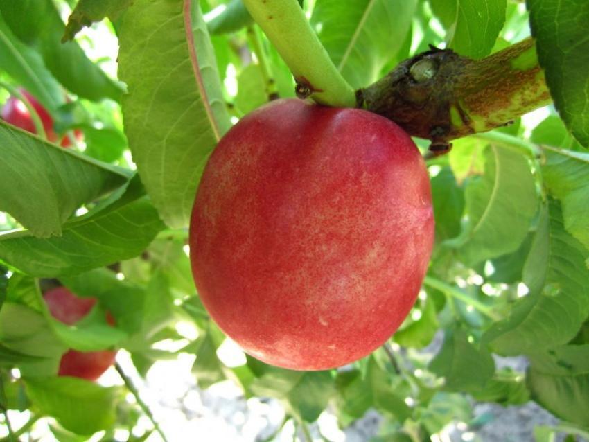 как называется персик скрещенный со сливой