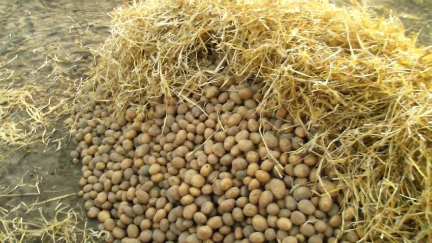 какой картофель можно хранить в яме