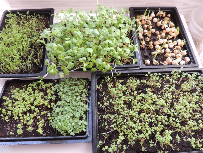 выращивание микрозелени на почве