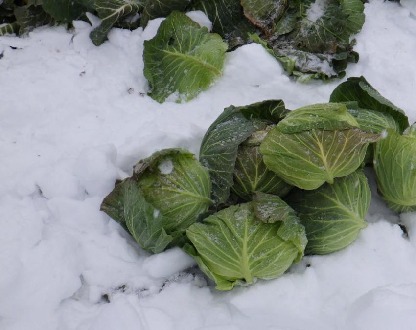 капуста под снегом