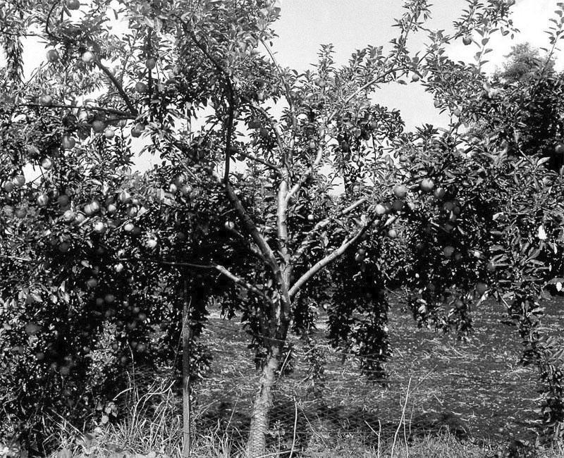 формирование кроны дерева по курдюмову