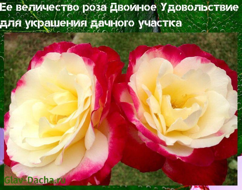 роза двойное удовольствие