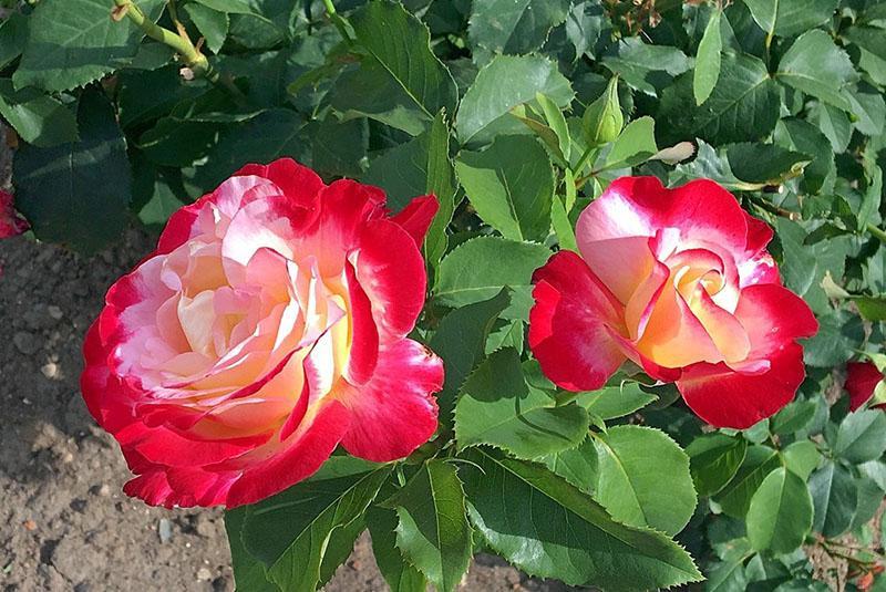 украшение сада роза двойное удовольствие