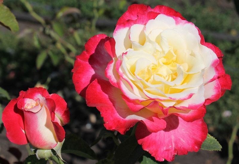двойной окрас бутона розы