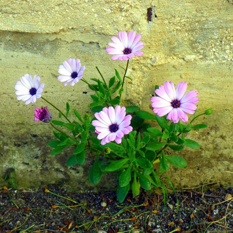 цветение диморфотеки