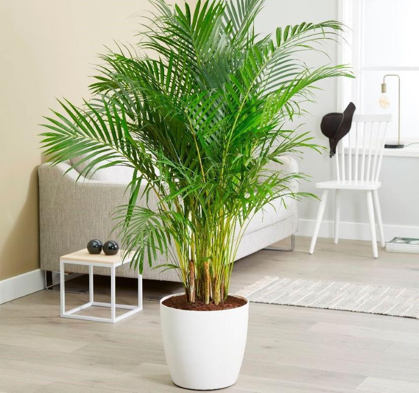 домашние пальмы разновидности фото и названия