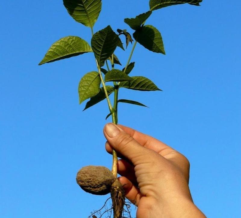 как сажать грецкий орех из ореха