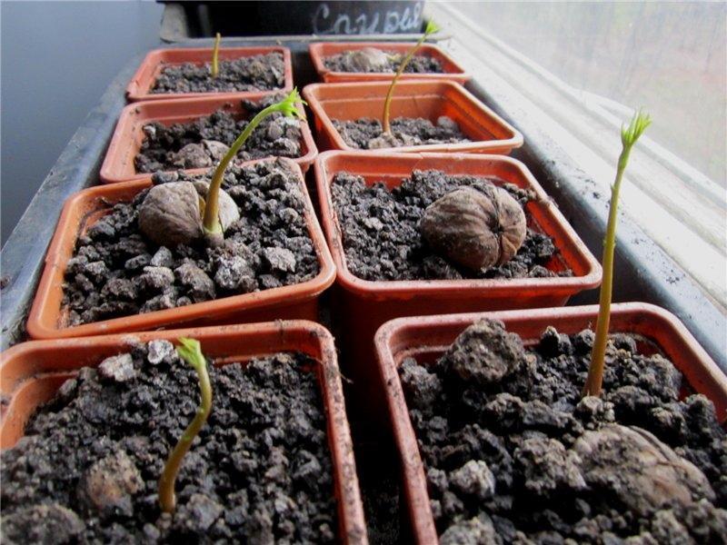 посадка ореха весной на рассаду