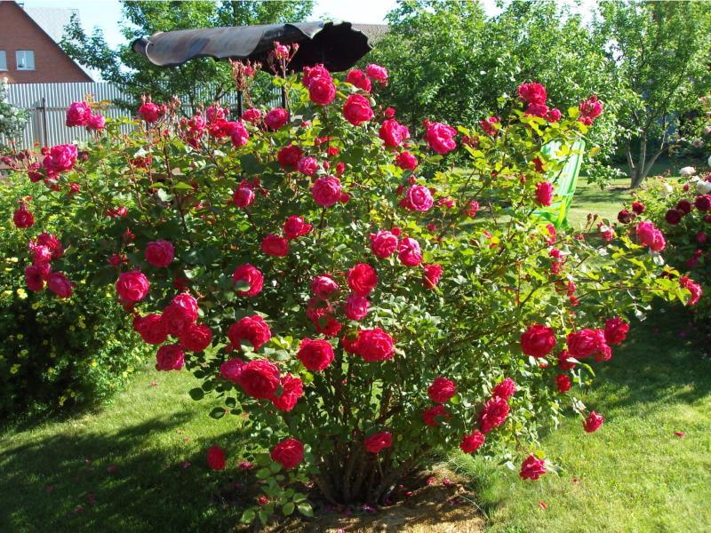 канадская парковая роза