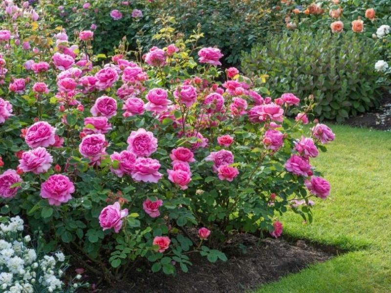 кустовая парковая роза