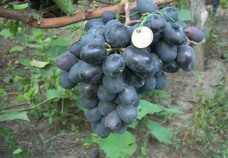 виноград фуршетный описание сорта