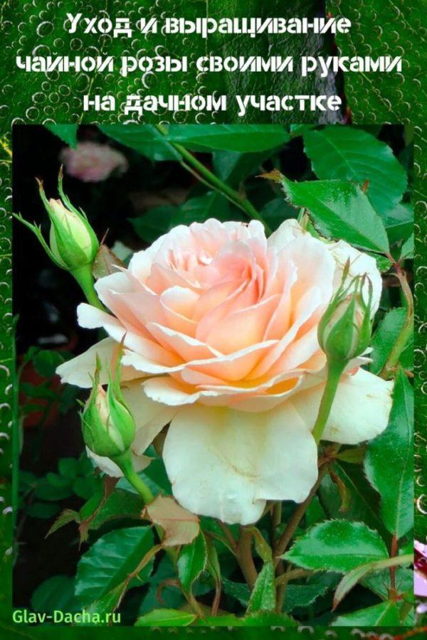 уход и выращивание чайной розы