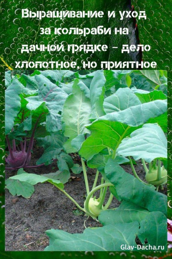 выращивание и уход за кольраби