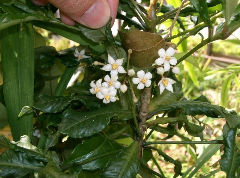 цветение ардизии