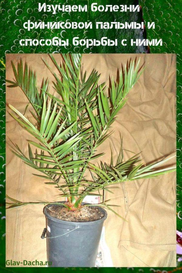 болезни финиковой пальмы