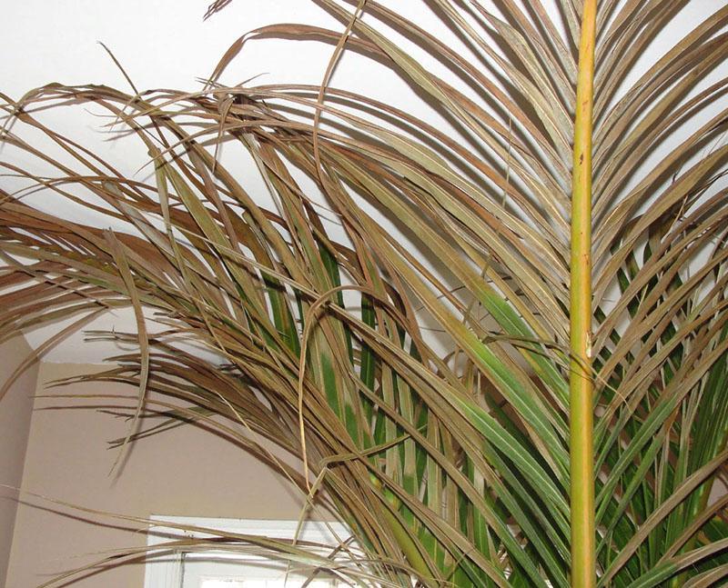 болезни финиковой пальмы желтеют листья