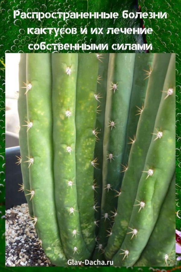 болезни кактусов и их лечение