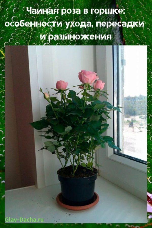чайная роза в горшке