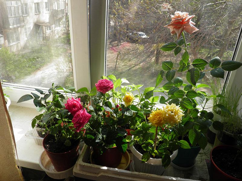 условия выращивания розы дома