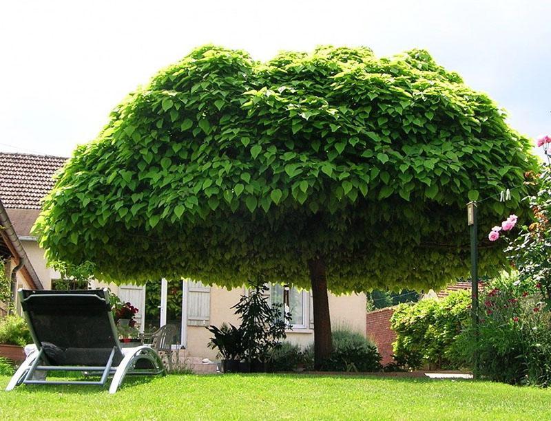 макаронное дерево