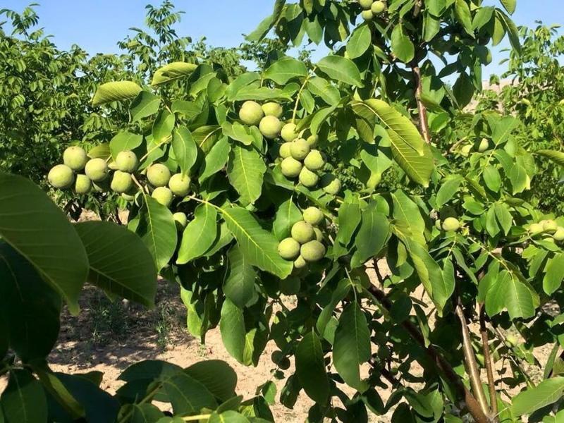 грецкий орех в беларуси выращивание