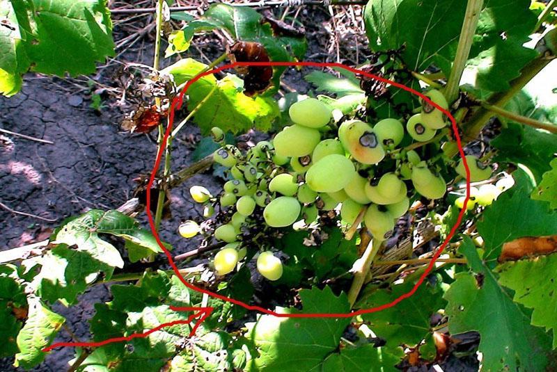 коллоидная сера при болезнях винограда