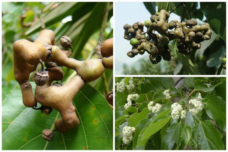 конфетное дерево фото и описание