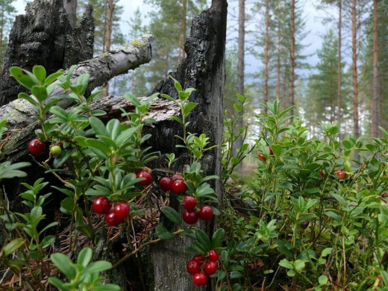 лесные ягоды фото и названия
