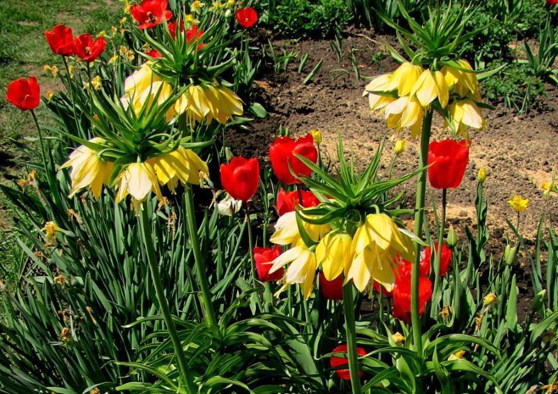 луковичные садовые цветы фото и названия
