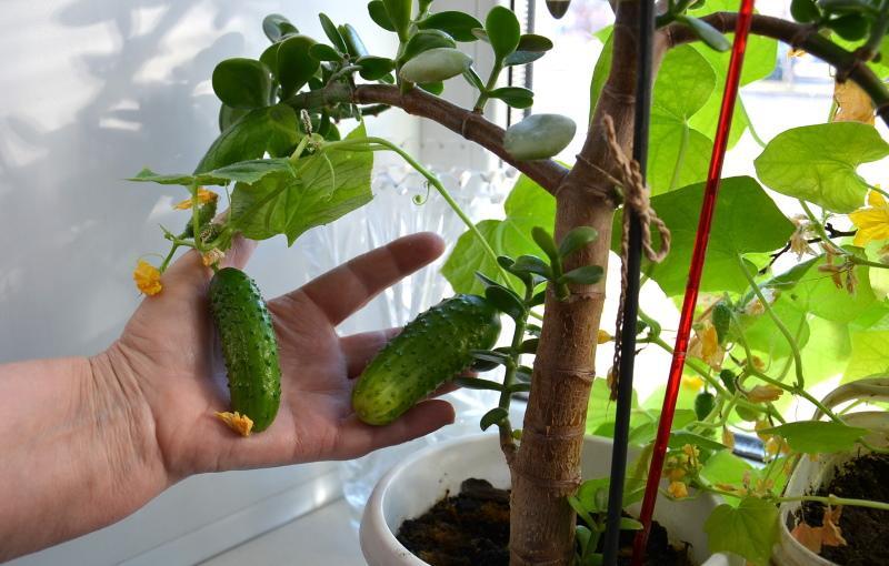 сорта для выращивания на подоконнике