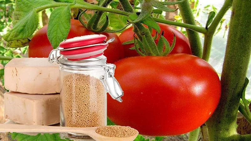 дрожжи для урожая томатов