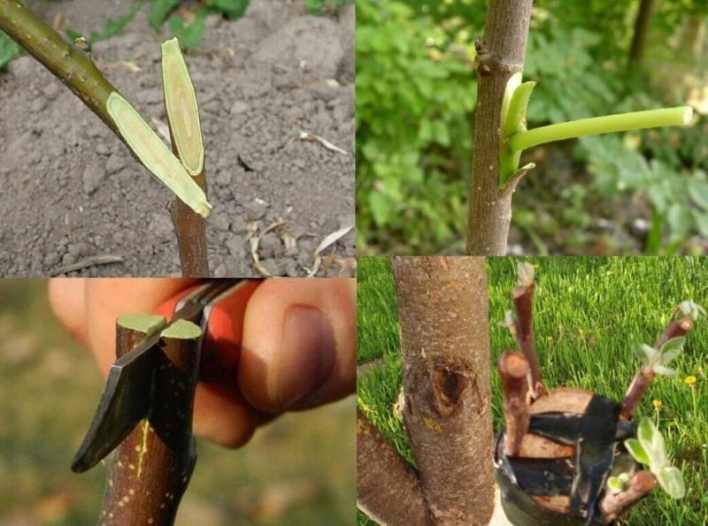 прививка плодовых деревьев лучшие способы