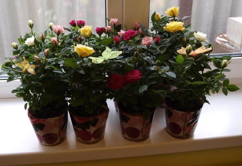 розы в горшках уход в домашних условиях
